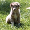 Australian Shepherd Puppy For Sale in LAS VEGAS, NV, USA
