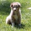 Australian Shepherd Puppy For Sale in LAS VEGAS, NV,