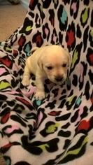 Labrador Retriever Puppy For Sale in DULUTH, GA