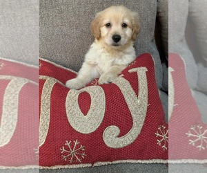 Goldendoodle (Miniature) Puppy for sale in RICHMOND, IL, USA
