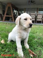 Labrador Retriever Puppy For Sale in OKLAHOMA CITY, OK, USA