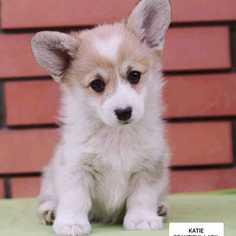 Pembroke Welsh Corgi Puppy for sale in MANHATTAN, NY, USA