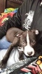 American Pit Bull Terrier Puppy For Sale in GOOSE CREEK, SC,