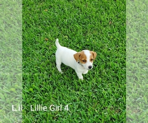 Jack Russell Terrier Puppy for sale in PIONEER, LA, USA