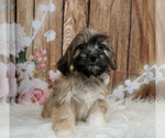 Puppy 3 Cavachon