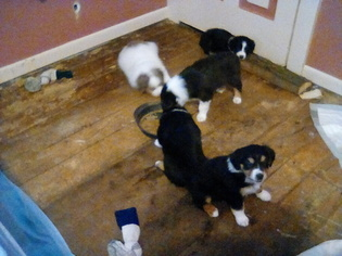 Australian Shepherd Puppy for sale in COSHOCTON, OH, USA