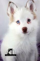 Pomsky Puppy for sale in BRADLEY, IL, USA