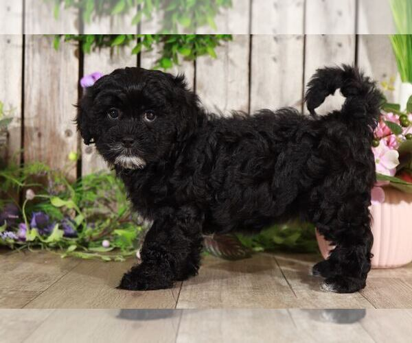 Medium Photo #2 Shih-Poo Puppy For Sale in MOUNT VERNON, OH, USA