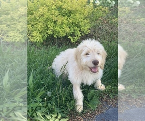 Goldendoodle Puppy for sale in CHESAPEAKE, OH, USA