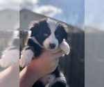Miniature Australian Shepherd Puppy For Sale in VACAVILLE, CA, USA