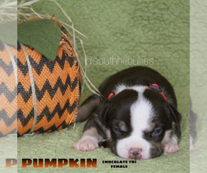 American Bully Puppy for sale in PUYALLUP, WA, USA