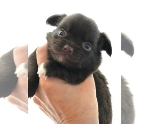 Chihuahua Puppy for Sale in SANFORD, North Carolina USA