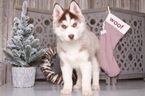 Siberian Husky Puppy For Sale in MOUNT VERNON, Ohio,
