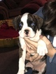 AKC Registered Boxer Puppies for sale