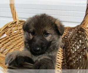 German Shepherd Dog Puppy for sale in HUDSON, MI, USA