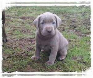 Labrador Retriever Puppy for sale in PINEHURST, TX, USA
