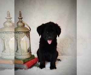 Golden Shepherd Puppy for sale in GREENCASTLE, PA, USA