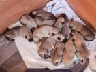 Anatolian Shepherd Puppy For Sale in LAURENS, SC, USA