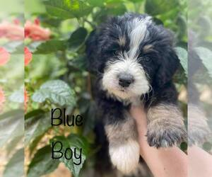 Bernedoodle Puppy for sale in ARAGON, GA, USA