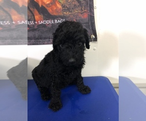 Poodle (Standard) Puppy for sale in RUSSELL SPGS, KY, USA