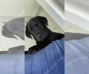 Labrador Retriever Puppy for Sale in DADE CITY, Florida USA