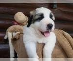 Small #38 Anatolian Shepherd-Maremma Sheepdog Mix