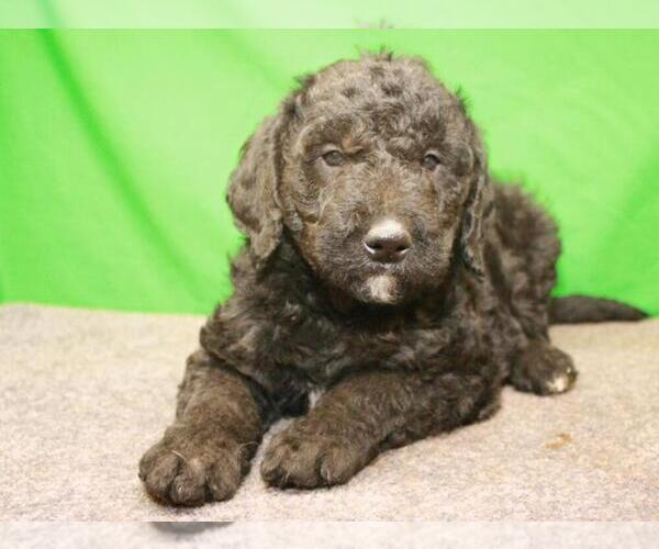 Medium Photo #3 Labradoodle Puppy For Sale in SHAWNEE, OK, USA