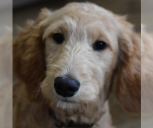 Goldendoodle Dog for Adoption in WEST SALEM, Ohio USA