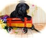 Small #1 Jack Russell Terrier-Labrador Retriever Mix