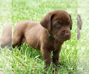 Labrador Retriever Puppy for Sale in DE LEON SPGS, Florida USA
