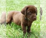 Labrador Retriever Puppy For Sale in DE LEON SPGS, FL, USA