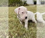 Small #3 Dogo Argentino