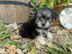 Morkie Puppy For Sale in SPRING HILL, KS, USA