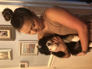 Australian Shepherd Puppy For Sale in MEBANE, NC, USA