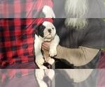 Puppy 4 Olde English Bulldogge