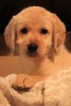 Labradoodle Puppy For Sale near 78232, Hill Country Village, TX, USA