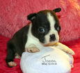 Boston Terrier Puppy For Sale in MOSELLE, MS, USA