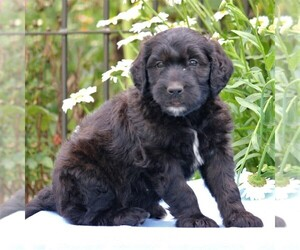 Goldendoodle-Poodle (Standard) Mix Puppy for sale in NARVON, PA, USA
