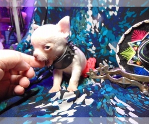 Chihuahua Puppy for sale in SHAMOKIN, PA, USA