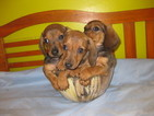 Dachshund Puppy For Sale in BROOKLYN, NY