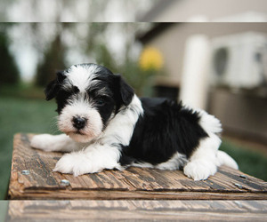 Havanese Dog for Adoption in YANKTON, South Dakota USA