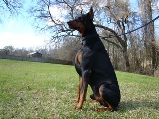 Doberman Pinscher Puppy For Sale in TOMBALL, TX
