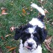 Zuchon Puppy For Sale in BROOKEVILLE, MD, USA