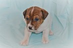 CKC Registered Jack Russell Puppy