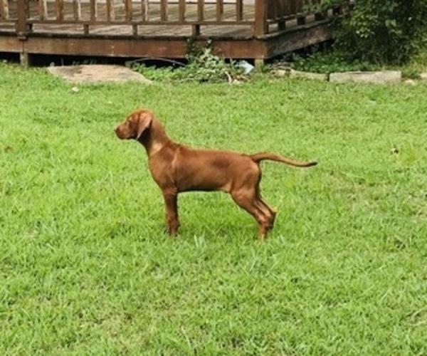 Medium Photo #2 Vizsla-Weimaraner Mix Puppy For Sale in KILLEN, AL, USA