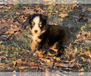 Miniature Australian Shepherd Puppy for Sale in MAGNOLIA, Texas USA