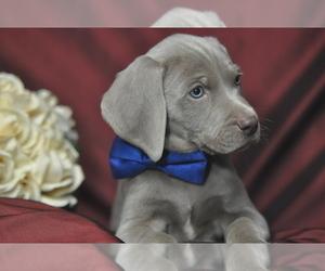 Weimaraner Puppy for Sale in BREMEN, Georgia USA