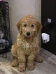Goldendoodle Puppy For Sale in ASHEVILLE, NC, USA