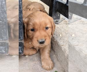 Golden Retriever Puppy for sale in HAMILTON CORNER, ID, USA