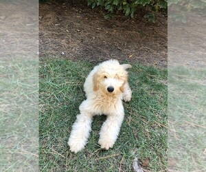 Goldendoodle Dog for Adoption in MOORESVILLE, North Carolina USA